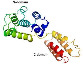 The first complete structure of an M1 protein from an infectious salmon anemia virus, as revealed by scientists at Rice University. The structure of the protein, which forms a protective shield around the viral contents, is similar to that of influenza viruses that infect humans, but no structures for those have been produced that show both the N and C domains.