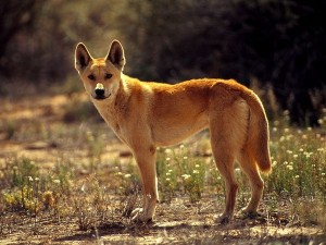 "Left: Dingo, Photograph by Jason Edwards (""National Geographic: Animals"")"