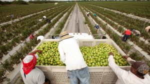 a photo of three farmworkers and a large crate of green apples with fields in the background