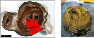 On the right, a mounted and polished cross section of a Hawai'ian gold coral collected from 450m near Makapuu, Hawai'i. Red lines indicate the micromill transect of individual growth bands. (Sherwood et al. 2014 Nature)
