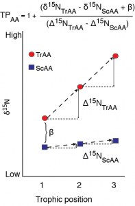 A schematic of fractionation in individual amino acid nitrogen isotope value with trophic transfer. Trophic amino acids (TrAA, e.g., glutamic acid) show large fracitonation with each trophic transfer while source amino acids (SrAA, e.g., phenylalanine) show little to no fractionation with trophic transfer. Together, these amino acids can provide an estimate of consumer trophic position that is internally normalized to the baseline nitrogen isotope value of the food web.