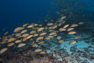 A school of snapper patrol the reef crest in the Phoenix Islands. (Photo Mark Priest)