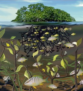 Mangroves act as valuable nurseries for many coral reef fishes.  Protected among the roots and surrounded by nutrient rich water, juvenile coral reef fishes can mature with ample food and protection until they migrate out to join the adult population on offshore reefs. (Illustration E. Paul OBerlander WHOI)