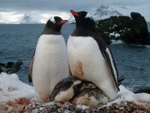 Gentoo penguins rearing young in Antarctica. (Photo: Michael Polito)