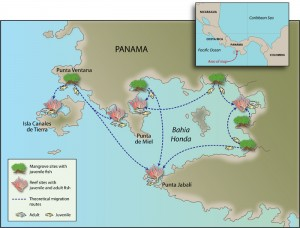 An illustration of essential habitats and migration pathways for coral reef fishes. (Illustration Jack Cook, WHOI)