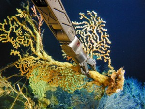 Hawai'ian gold coral colony sampled iat 450m depth near Makapuu, Hawai'i. Photo credit: NOAA Hawaiian Undersea Research Laboratory, DSRV Pisces Pilots & Engineers, 2004.
